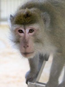 Ein Affe blickt in die Kamera