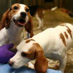 Tierversuche retten Zuckerkranke