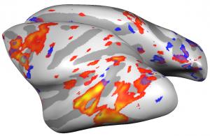 MRT-generiertes Modell des Gehirns eines Rhesusaffen. Die Farbintensität entspricht der Aktivität der Nervenzellen in dieser Hirnregion. Foto: Lydia Gibson