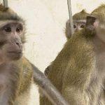 Warum Wissenschaftler Tierversuche mit Affen durchführen
