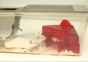 transgene Mäuse im Käfig