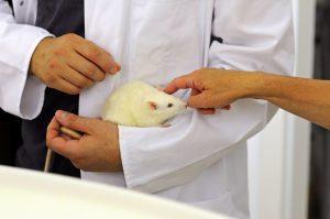 Ein Forscher hält eine weiße Ratte auf dem Arm, die gestreichelt wird.