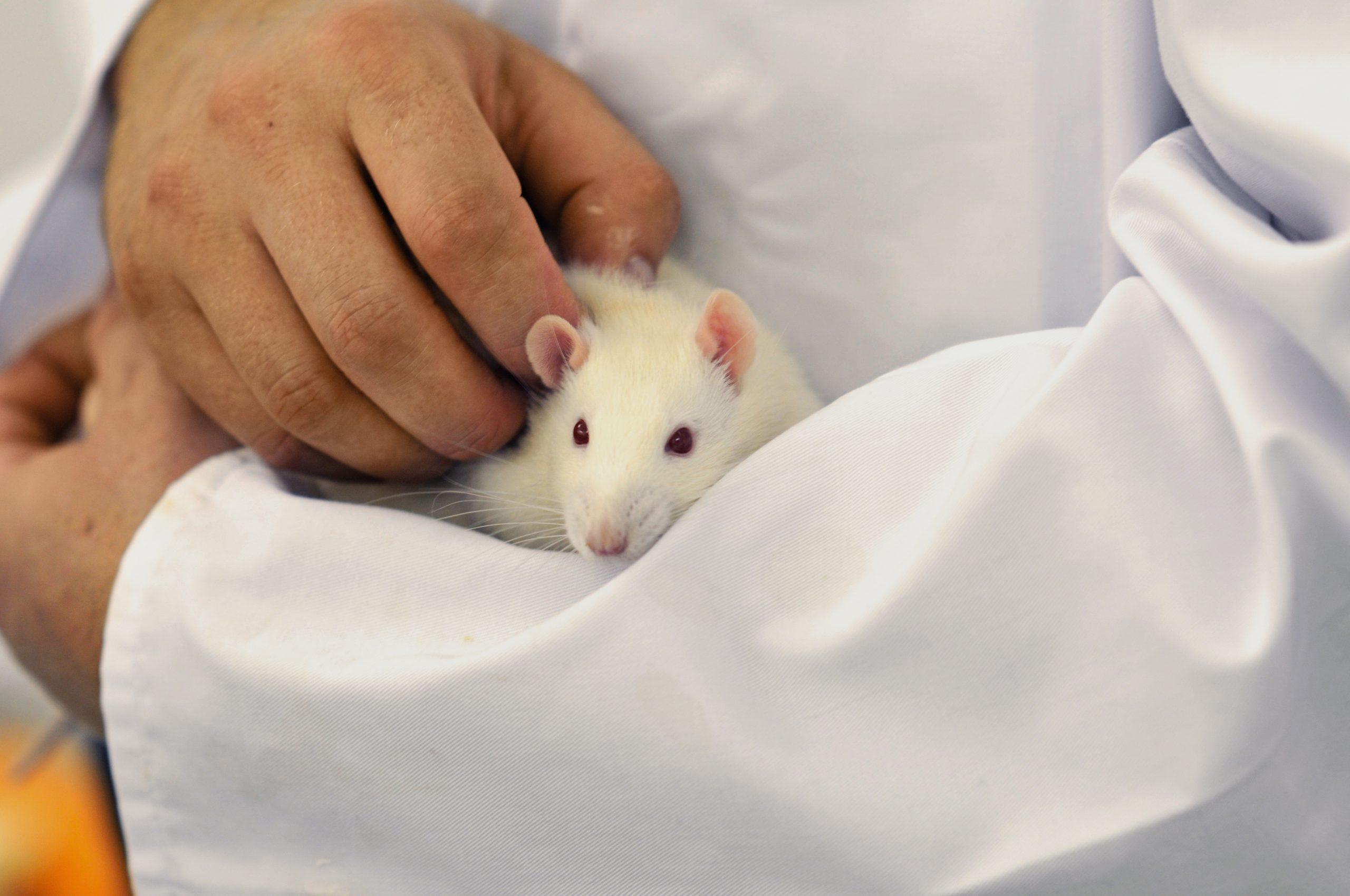 Ein Forscher hält eine weiße Ratte auf dem Arm und krault sie.