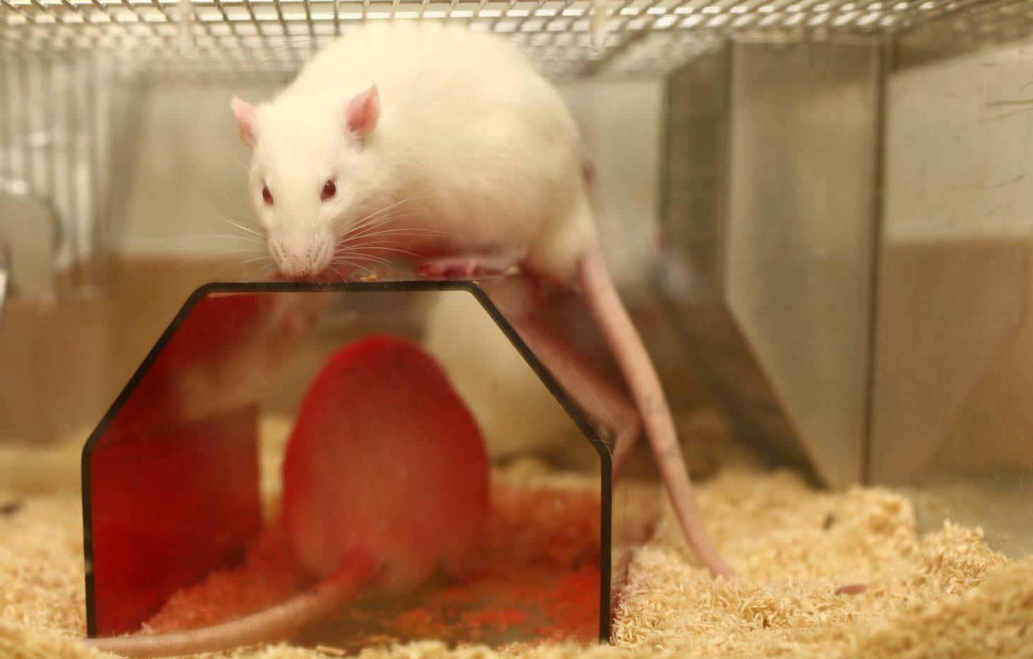 Tierversuche verstehen: Tierarten und ihr Einsatz in der Forschung