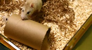 Zwei Ratten spielen mit einer Papprolle in ihrem Käfig.