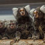 Wilde Affen aus dem Dschungel für Tierversuche?