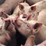 10 Fakten zu Schweinen