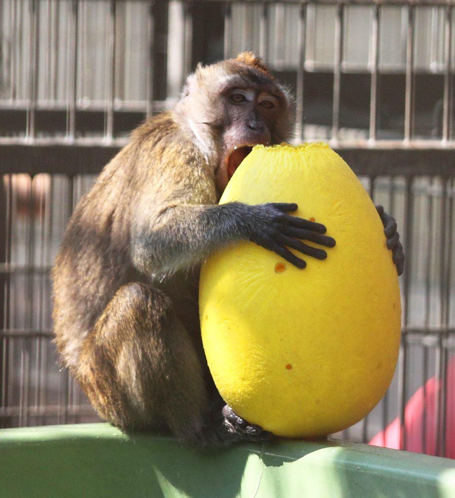 Primatenhaltung am Deutschen Primatenzentrum: Ein Javaneraffe in einem Gehege.