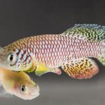 Alternsforschung am Fisch: Vom Kind zum Greis in nur wenigen Wochen