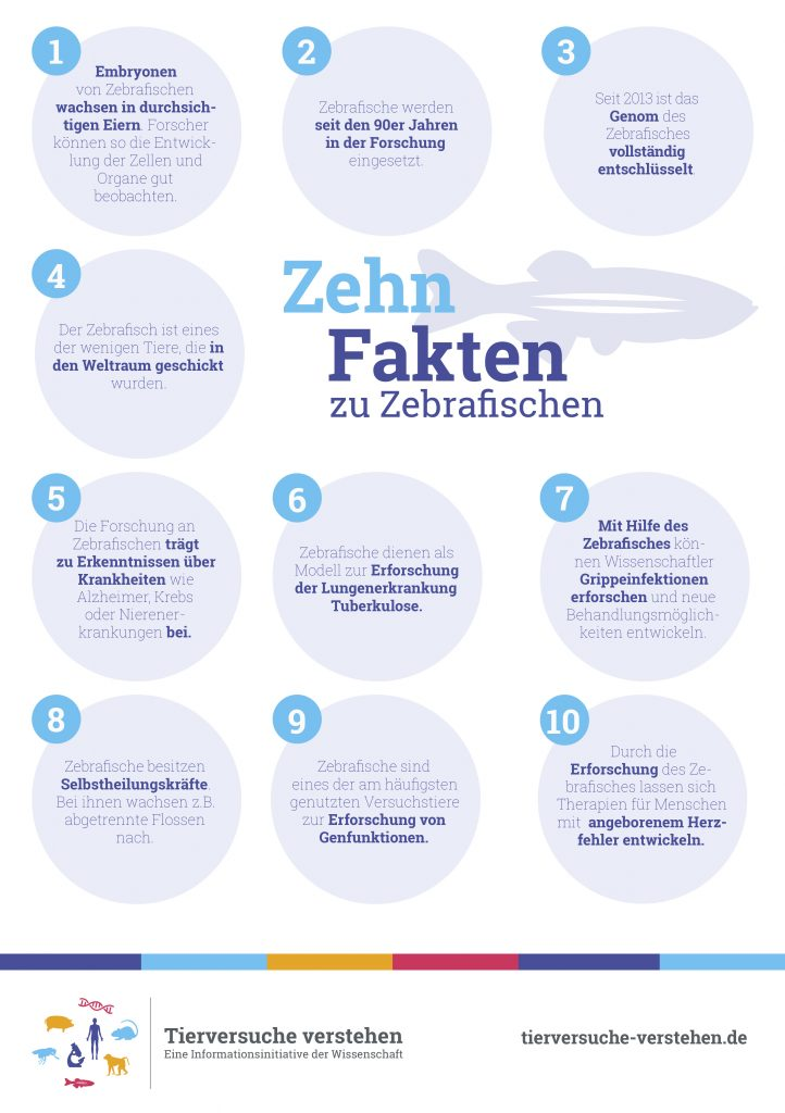 Grafik: Zehn Fakten zu Zebrafischen