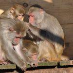 HIV-Forschung kann auf Versuche an Tieren nicht verzichten