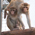 Überwindung von Lähmungen zeigt sich im Versuch mit Affen