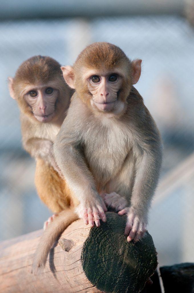 Rhesusaffe im Freigehege des Deutschen Primatenzentrums. An den Tieren werden Lähmungen erforscht.