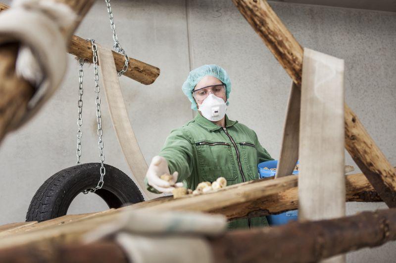 Tierhaltung am Deutschen Primatenzentrum: Ein Tierpfleger legt in einem Innengehege Futter für die Rhesusaffen aus.