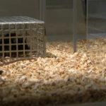 Video – Wie viel Maus steckt im Menschen?