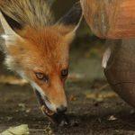 Corona-Infektionsrisiko für Nutztiere?