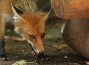Die Tollwut ist dank Tierversuchen kaum mehr ein Problem.