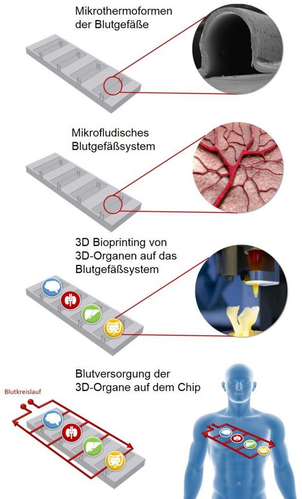 Aufbau eines Multi-Organ-Chips