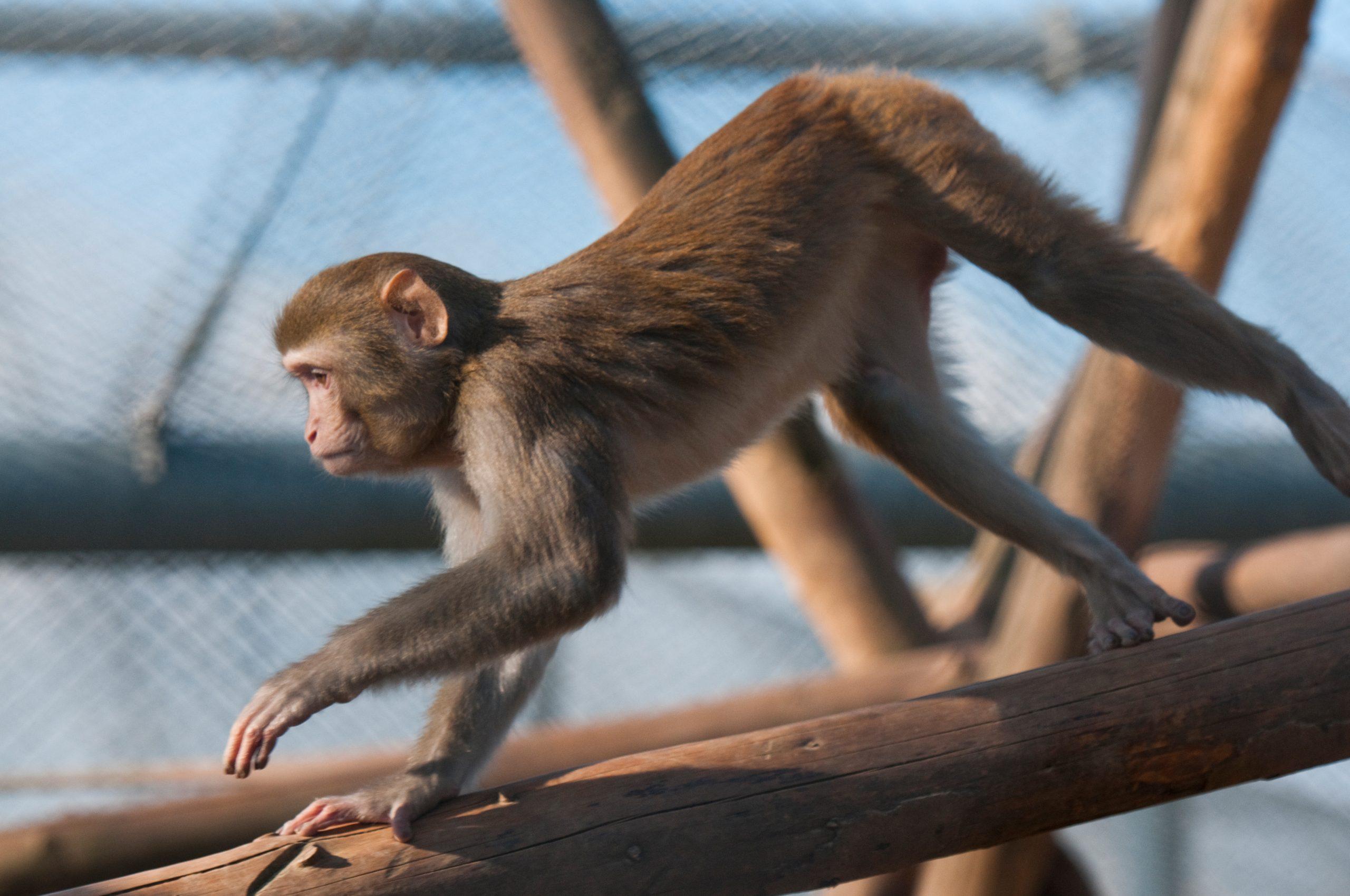 Rhesusaffen (Macaca mulatta) im Außengehege des DPZ